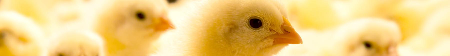 Flock of chicks