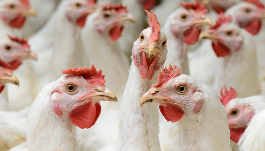 Large flock of white hens